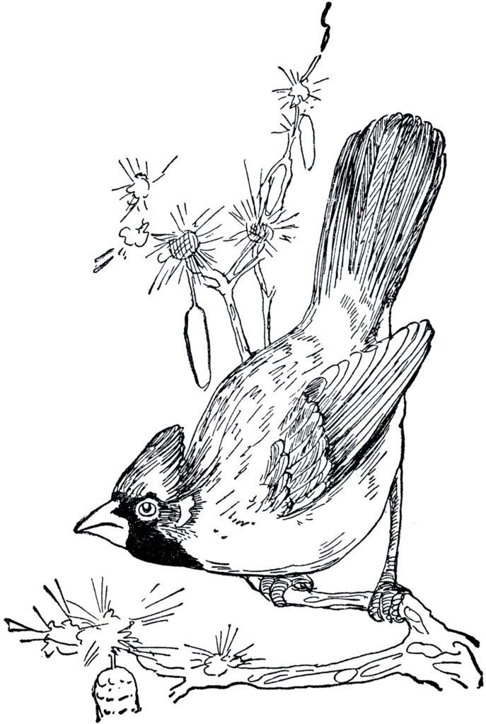 vintage cardinal black white clipart