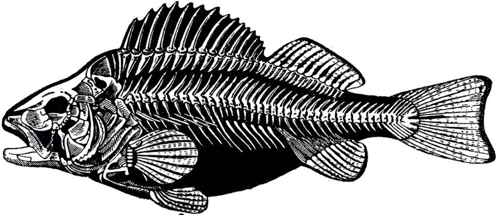 vintage fish skeleton bones image