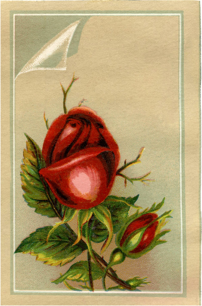 vintage red rose rosebud illustration