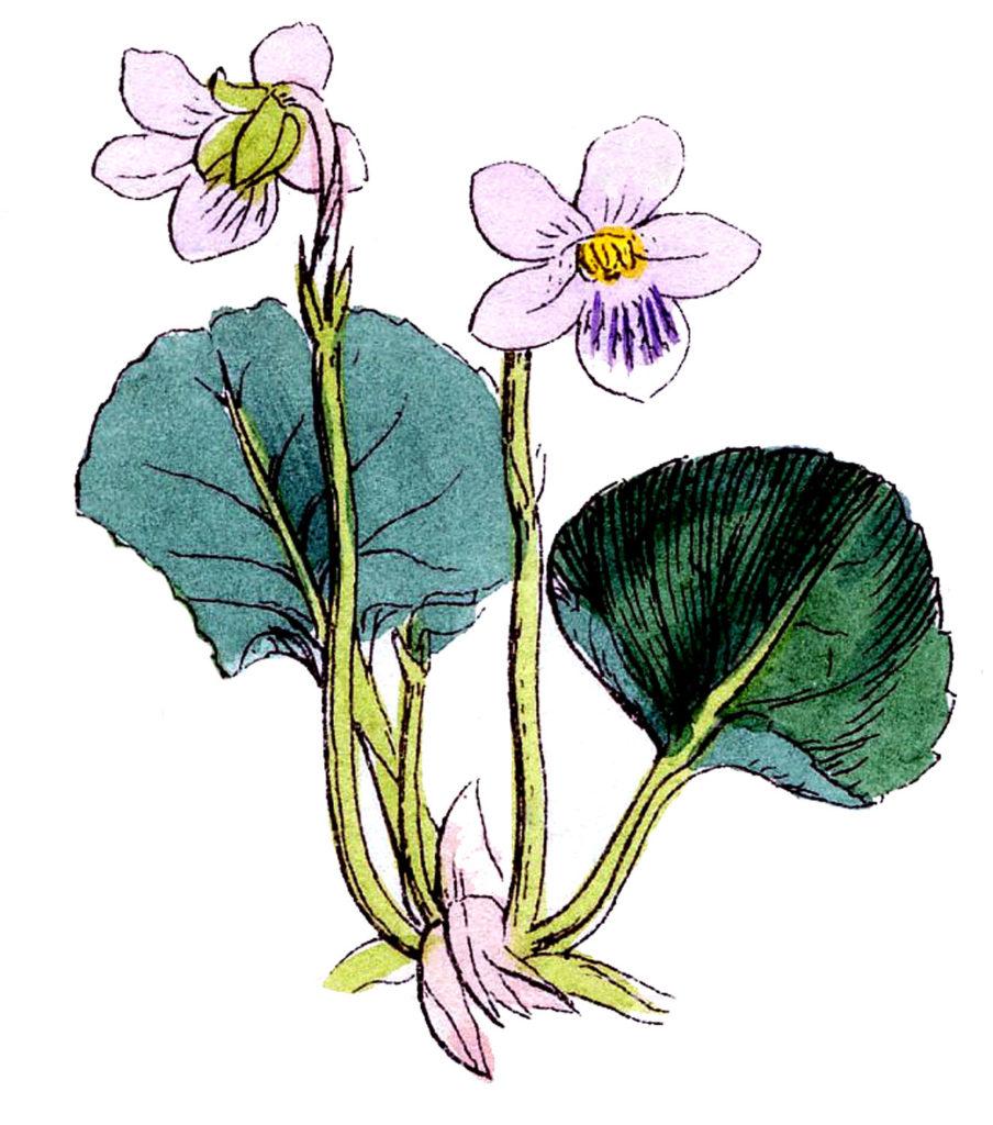 Vintage Violet Botanical Sketch Image