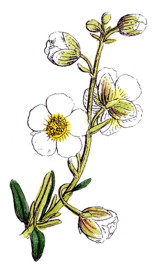 White Wildflower Image