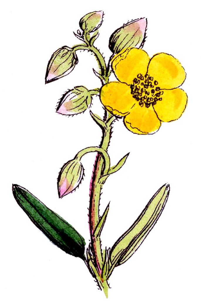 Wildflower Yellow Vintage Image