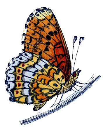 butterfly resting illustration
