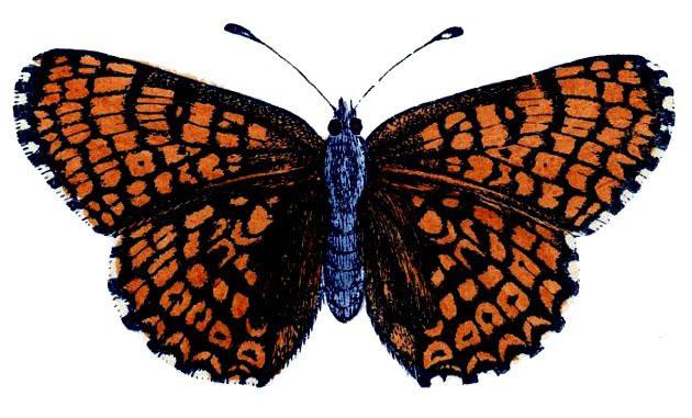 Vintage Orange Butterfly Illustration