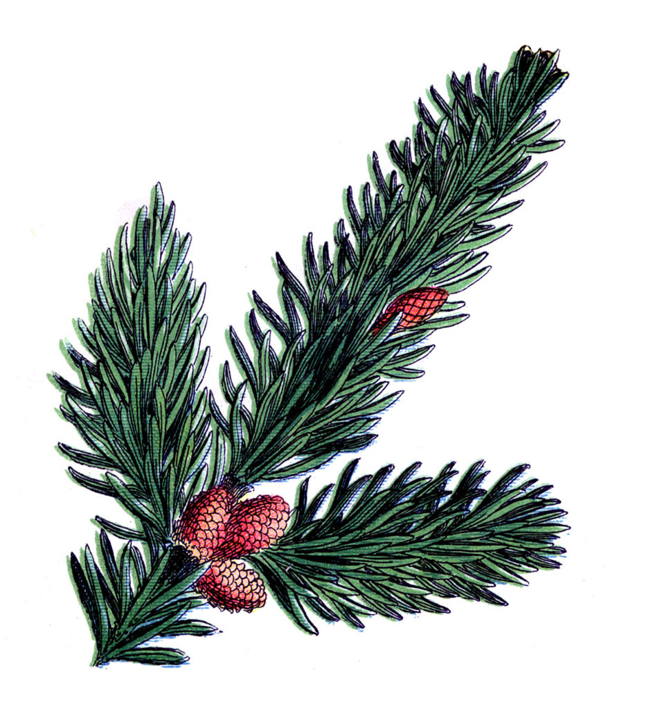 branch pine cone image