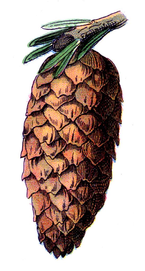 vintage pine cone illustration