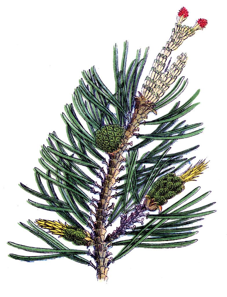 evergreen branch pine cone image