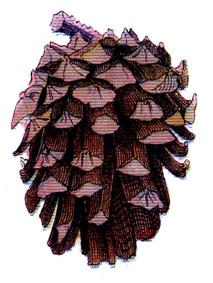 vintage pine cone image
