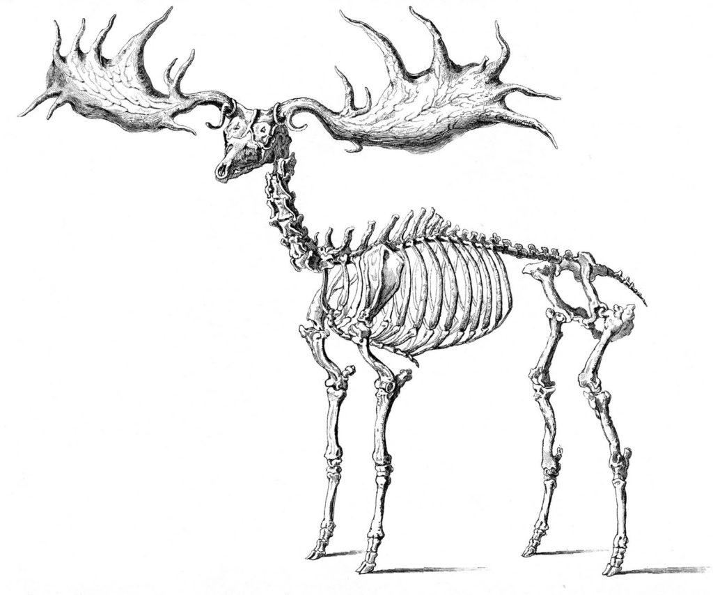 Halloween Animal Skeleton Clip Art - Elk Illustration
