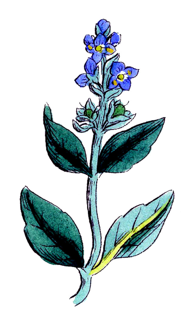 Blue Wildflower Botanical Image