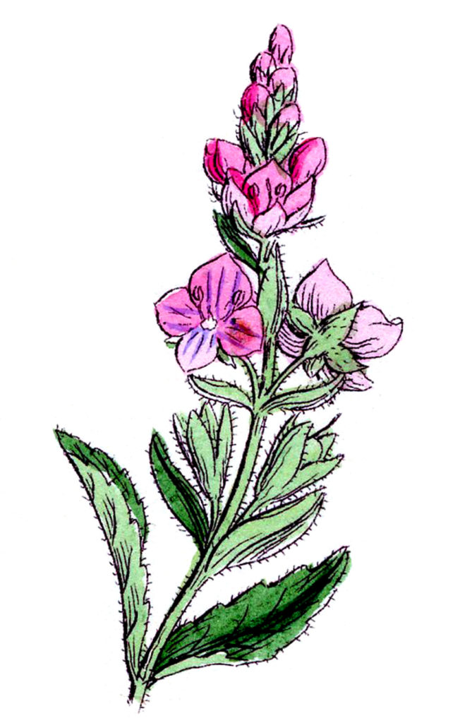 Wildflower Pink Image