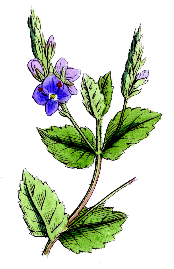Vintage Blue Purple Wildflower Illustration