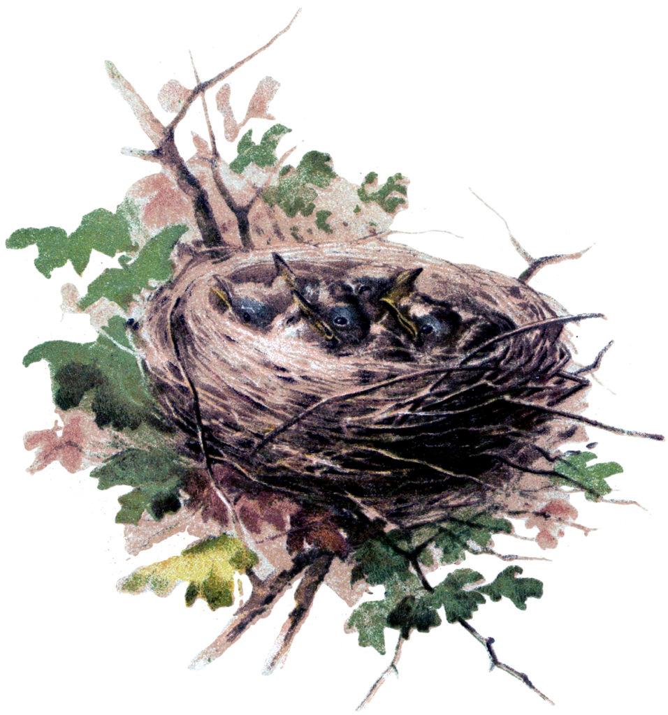 baby birds nest vintage image