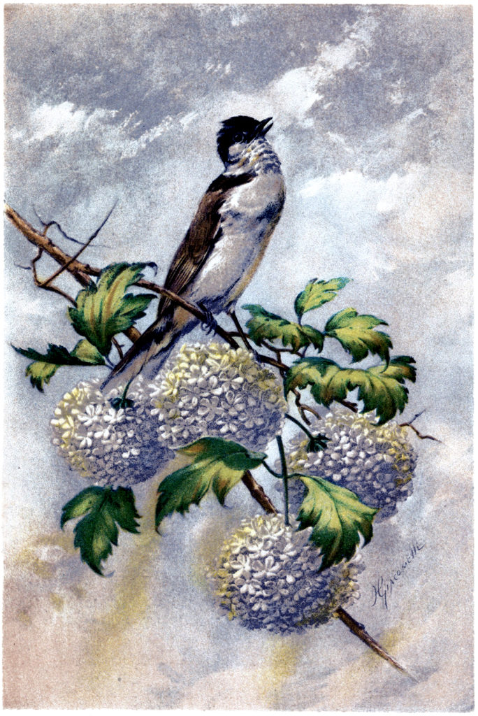 hector giacomelli illustration bird hydrangea