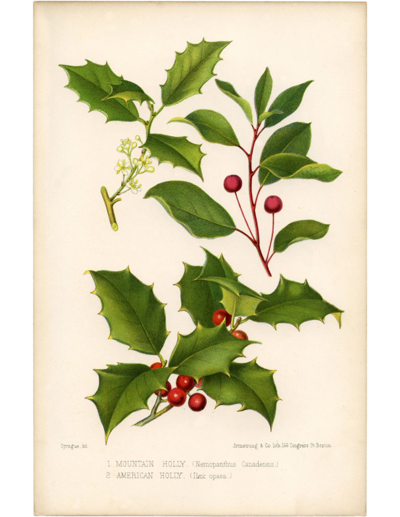 vintage holly botanical image