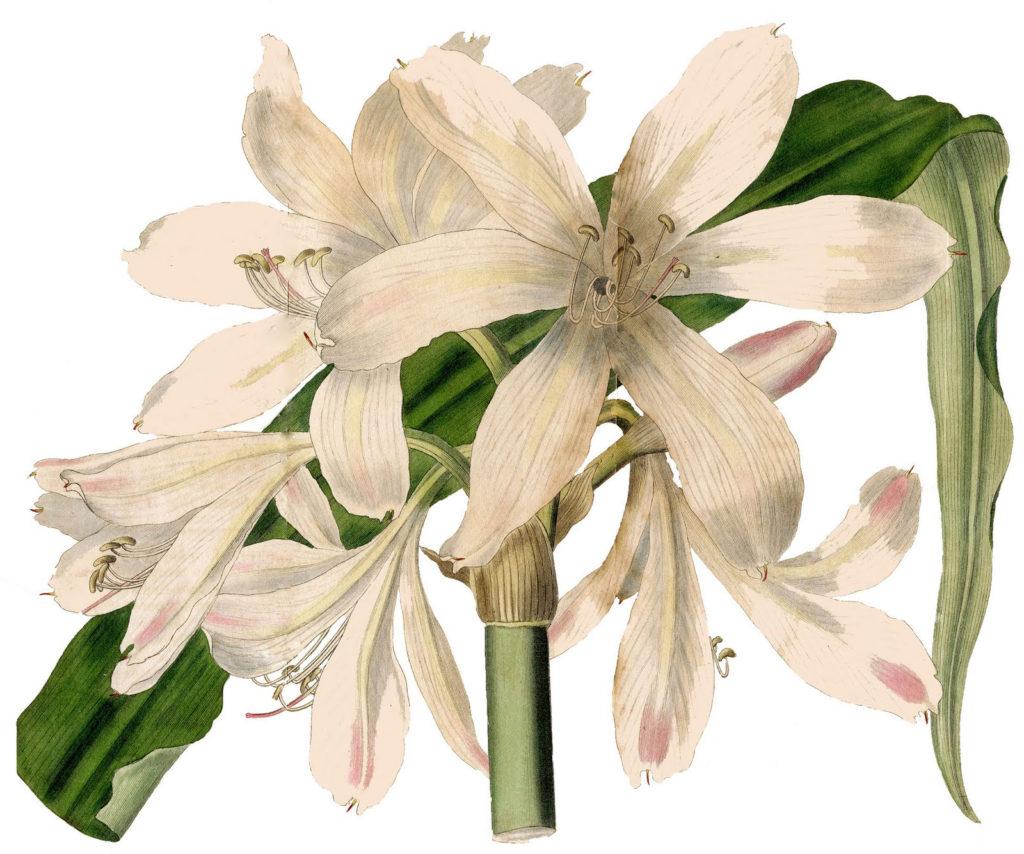 amaryllis white clipart