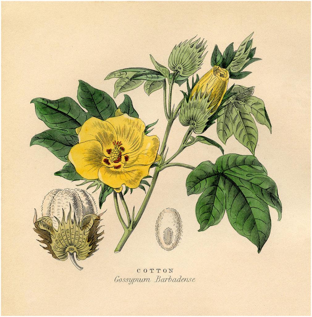 Cotton Plant Image