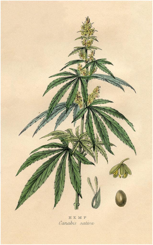 Hemp Plant Image