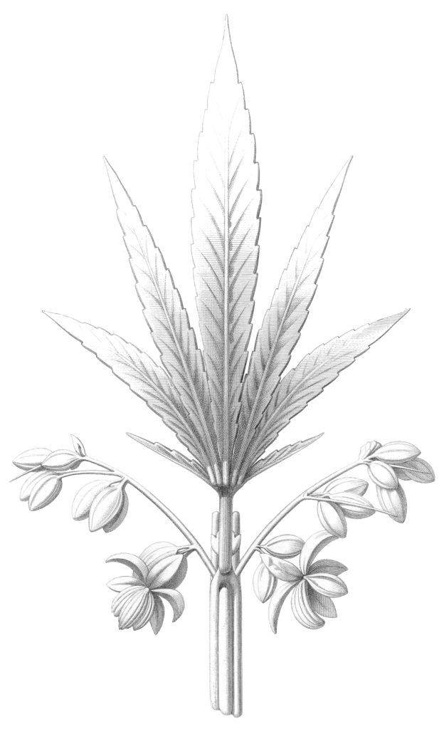 Hemp Cannabis Sativa Image