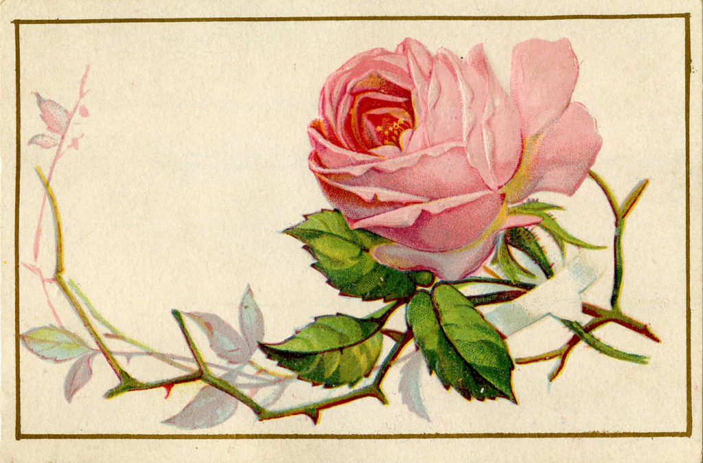 old pink rose illustration