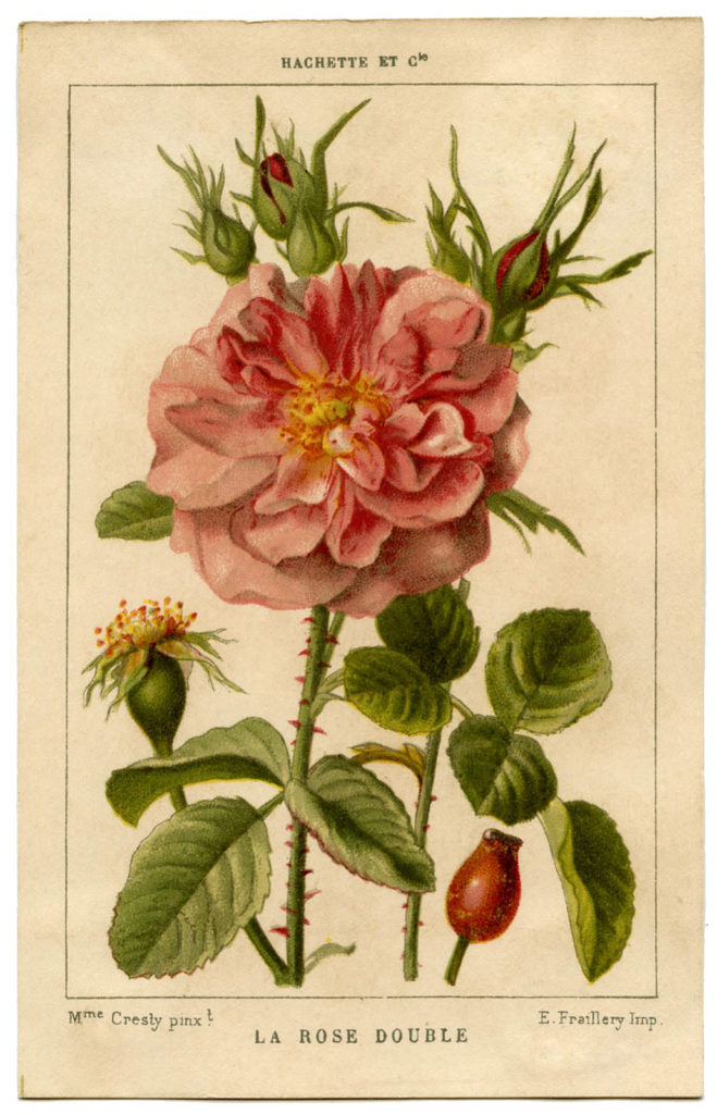 french pink rose botanical print image