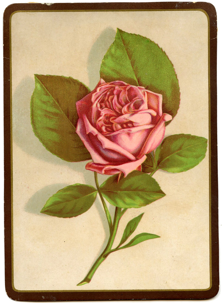 Pink Rose Image Framed