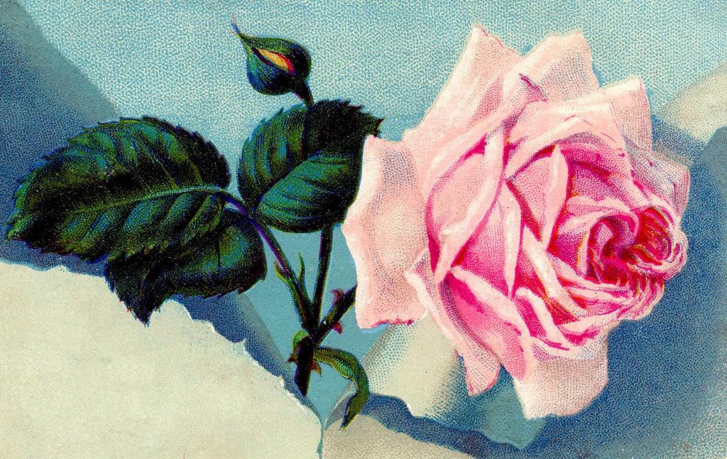 pink rose blue background image