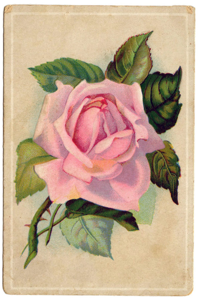 pink rose clipping image