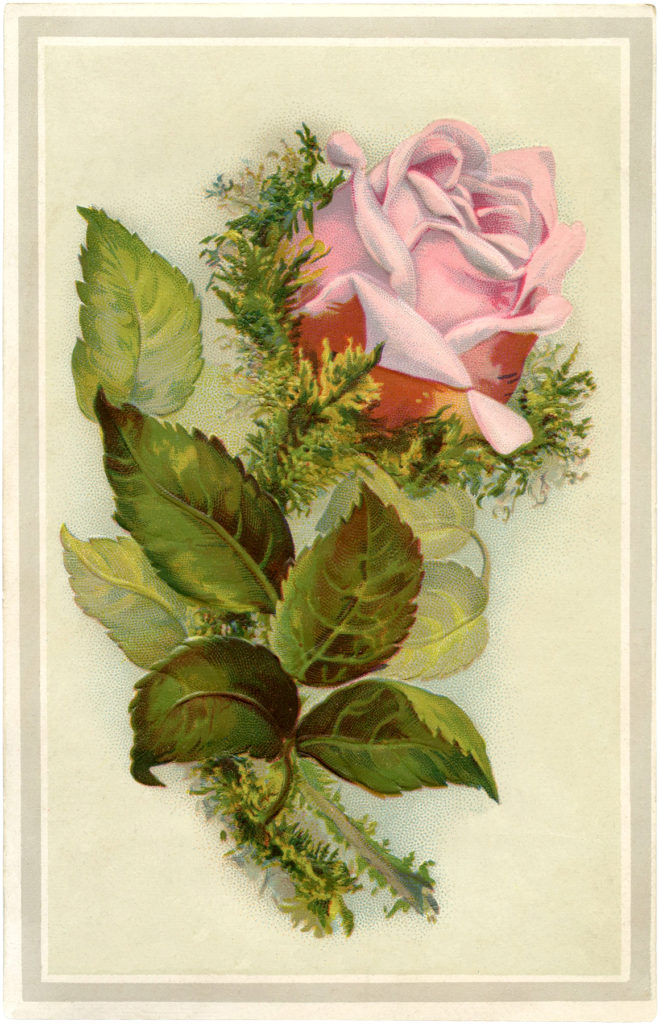 vintage pink moss rose image