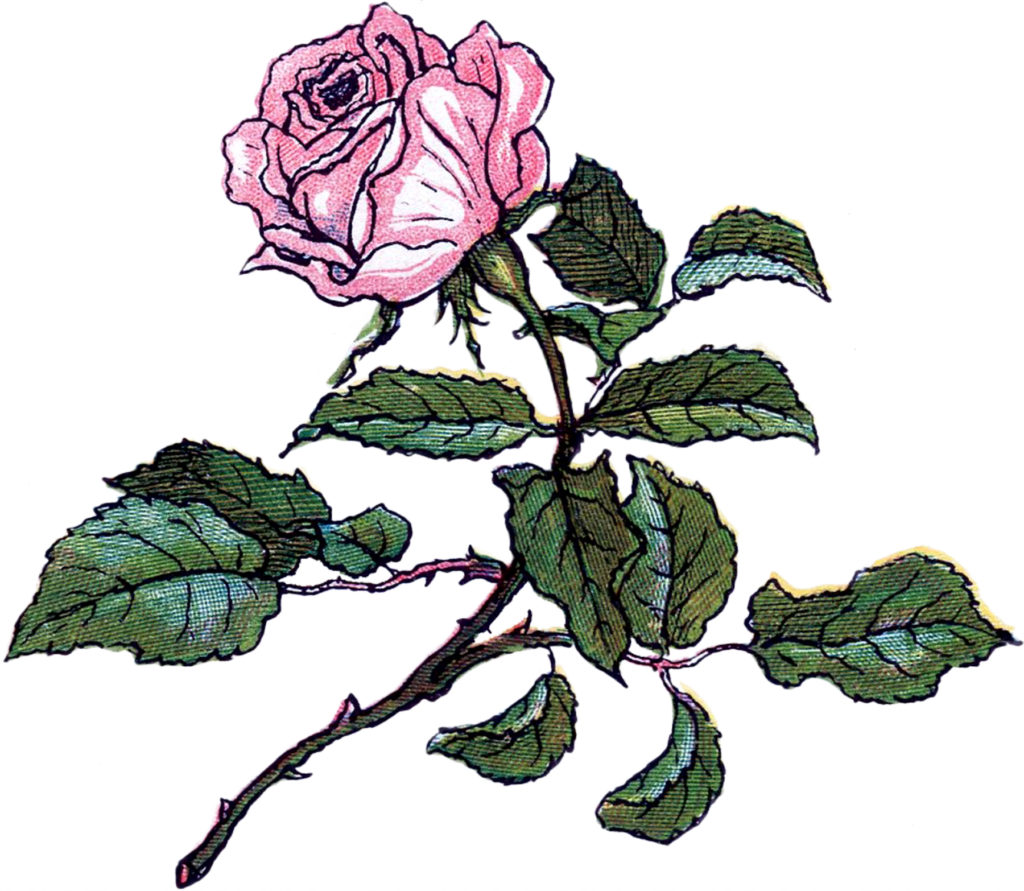 single rose stem pink clipart