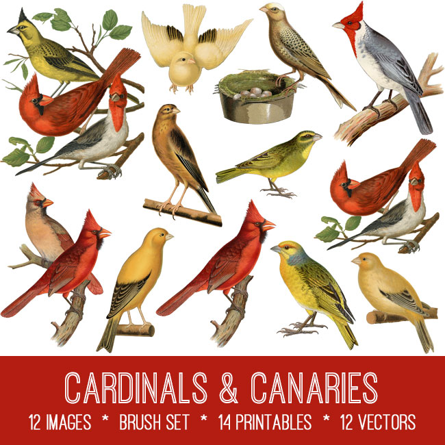 cardinals & canaries vintage images