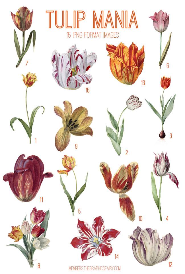 vintage tulip mania digital image bundle