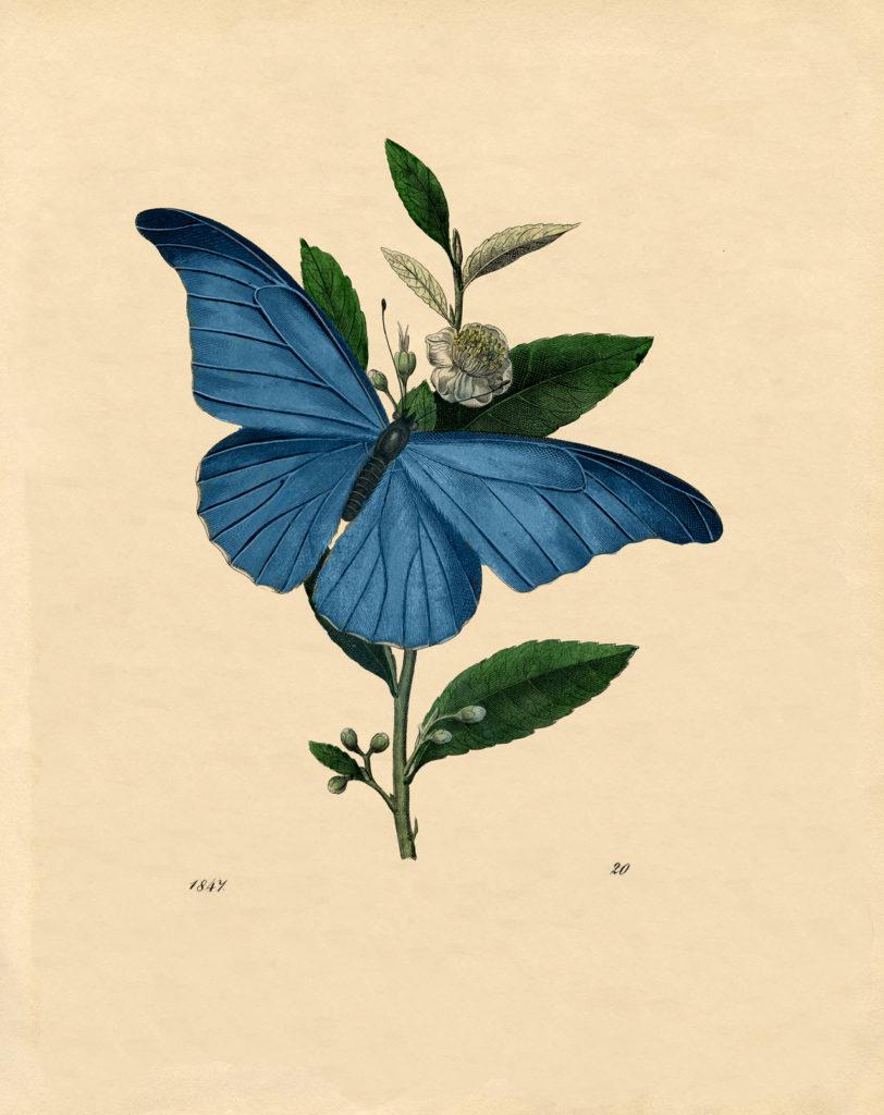 blue butterfly natural history vintage illustration