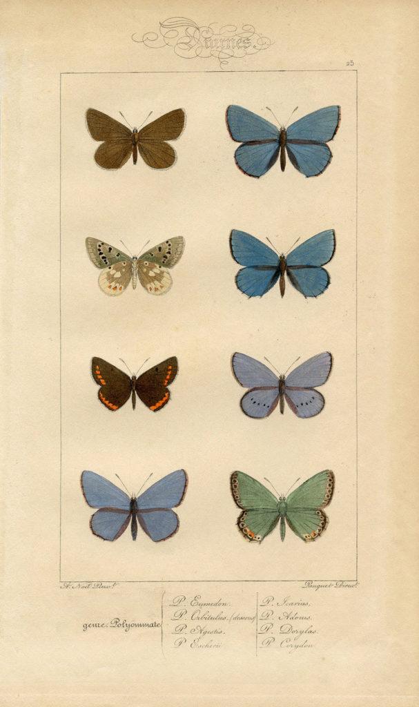 blue butterflies botanical antique image