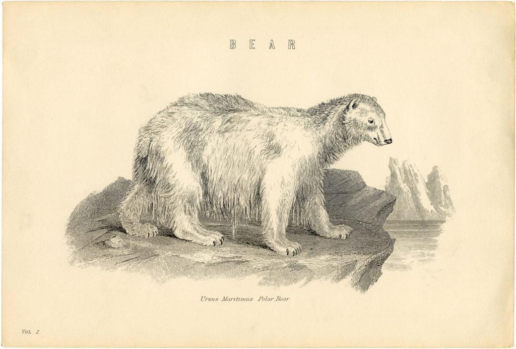 polar bear natural history antique clipart