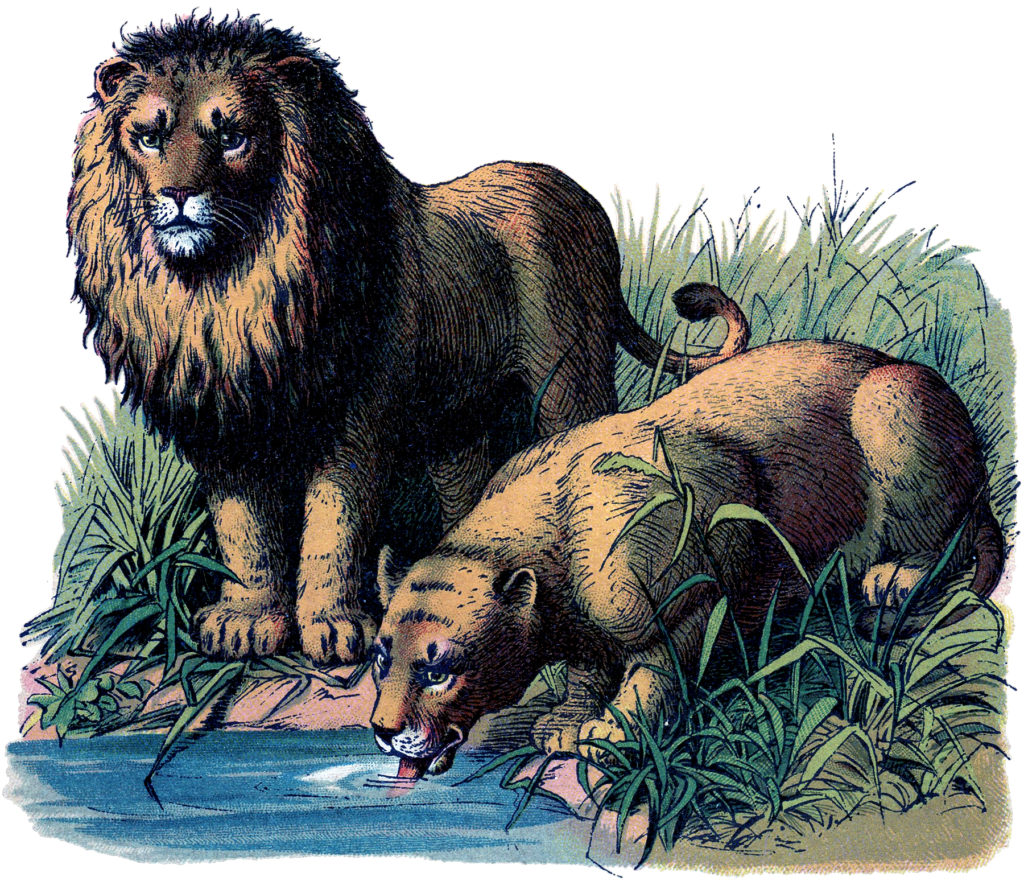 Vintage Lion Lioness Water Illustration
