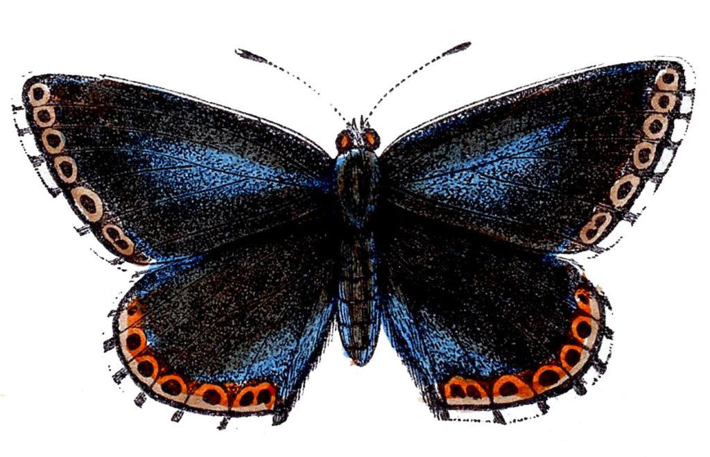 butterfly navy blue red clip art