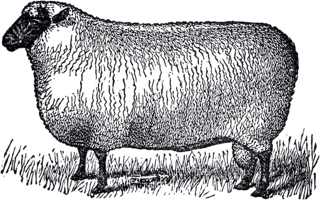 black white sheep image