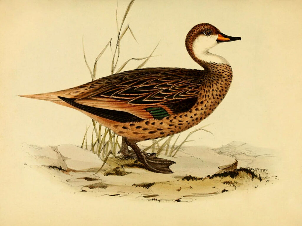 Brown Duck Image