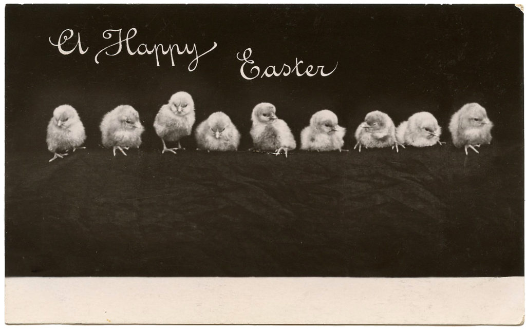 black white vintage photograph row chicks image