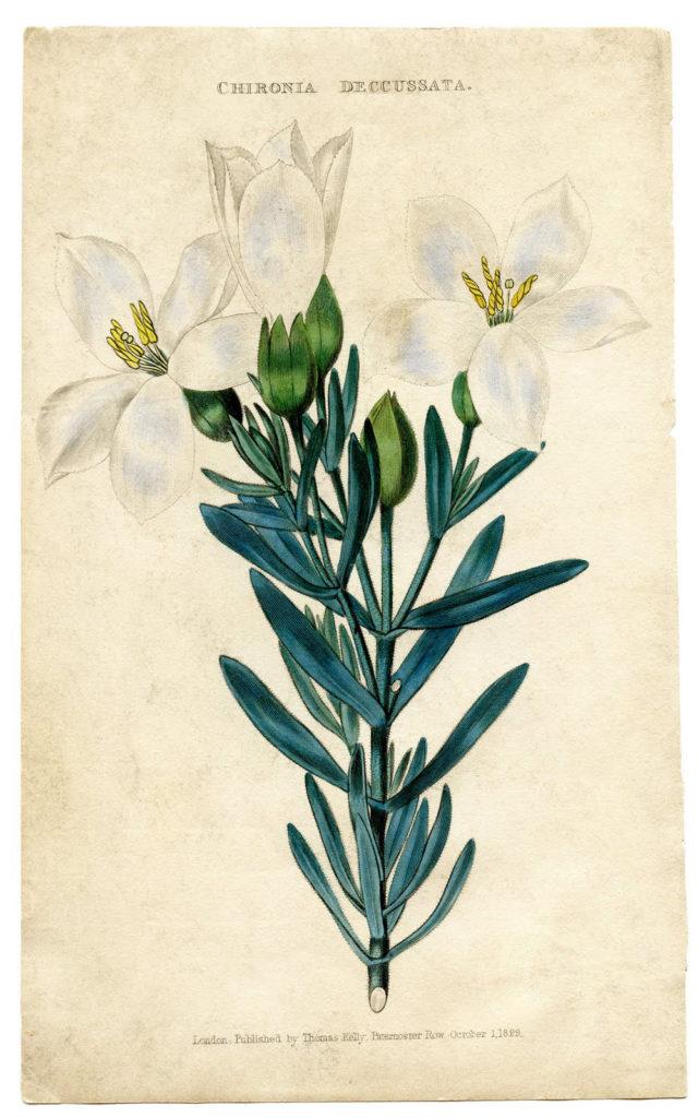 Easter Lily Vintage Botanical Image