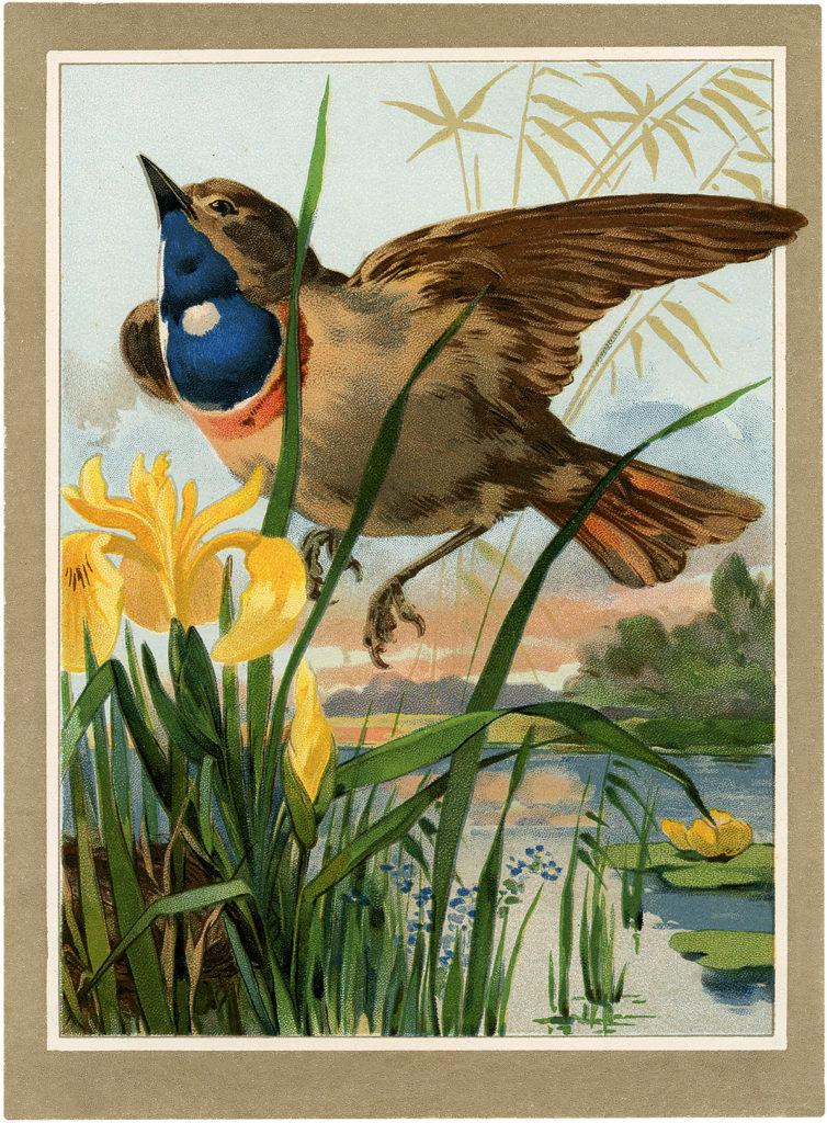 Iris bird vintage image