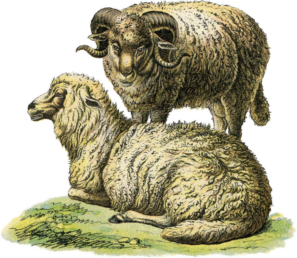 realistic vintage sheep illustration