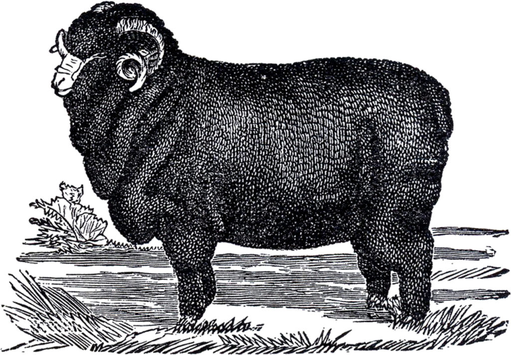 vintage black sheep ram illustration