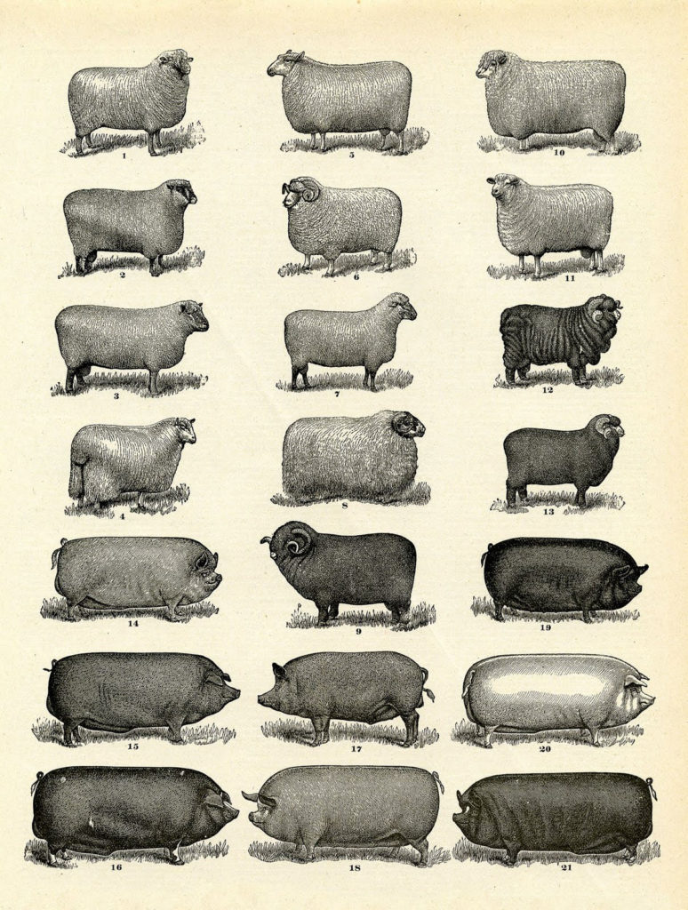 farm animals sheep vintage image