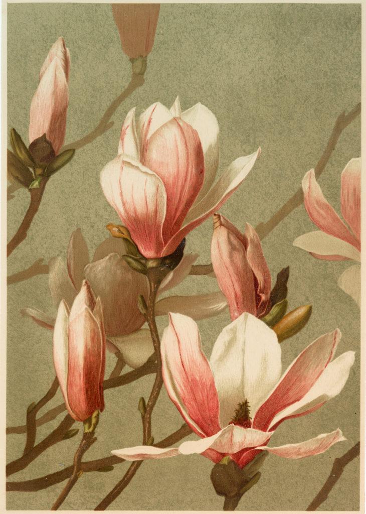 Pink Magnolia Image