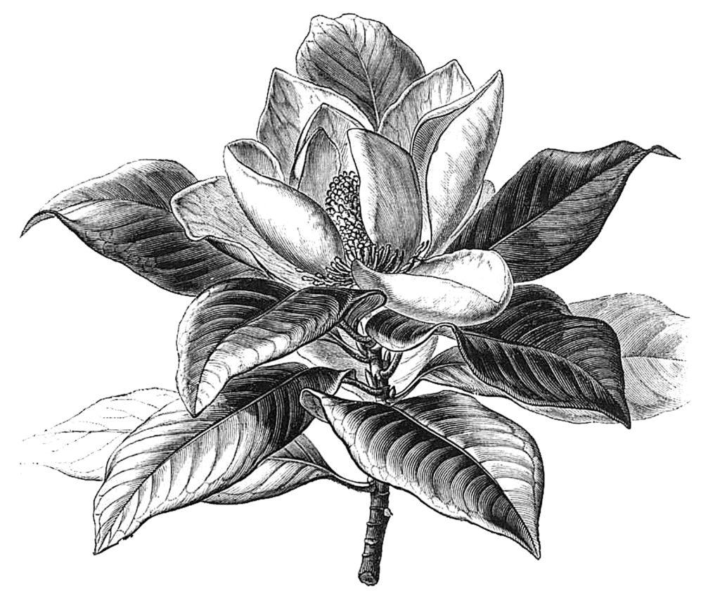 Magnolia Flower Clipart