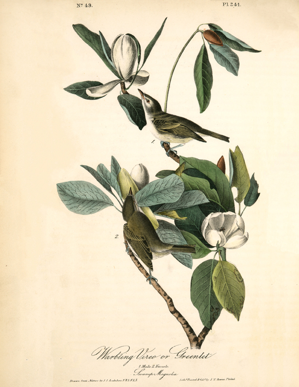 natural history bird magnolia branch clipart