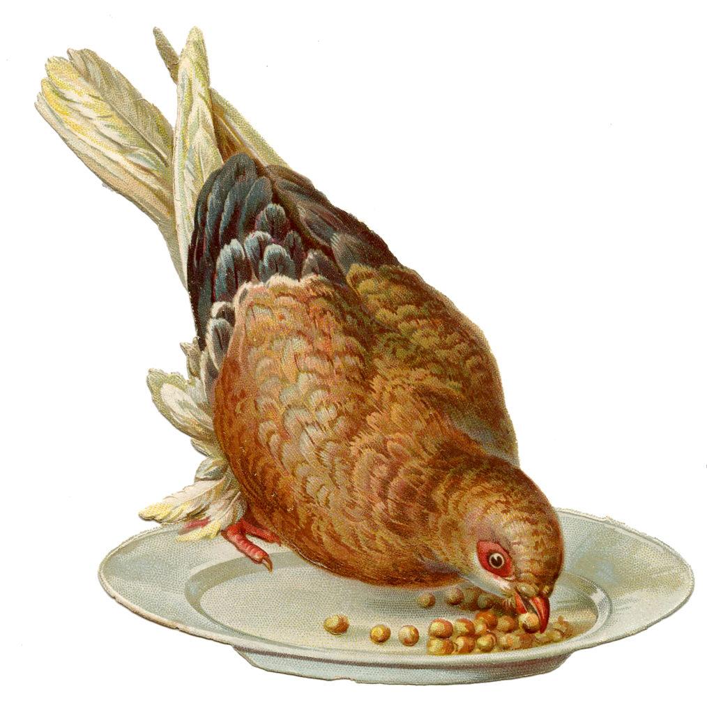 pigeon feed image