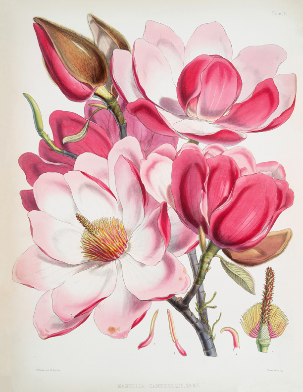 vintage pink magnolias illustration